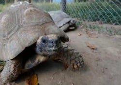 Brasile, 60 tartarughe salvate dall'estinzione arrivano a Rio de Janeiro Le immagini dal Parco Nazionale di Tijuca che ricopre l'area urbana della metropoli brasiliana. La reintroduzione degli animali nel loro habitat naturale fa parte del programma 'Refauna' - Ansa