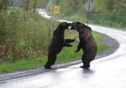 Canada, botte da orsi: l'autostrada diventa un ring Avvistamento a Stewart, città ad ovest della British Columbia. I due grandi grizzly ringhiano e si caricano a vicenda, alzandosi sulle zampe posteriori - Corriere Tv