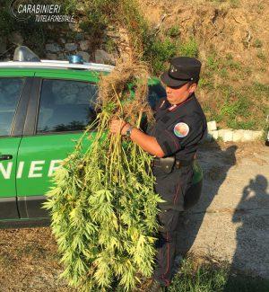 Coltivava cannabis indica a Rossano, denunciato un 54enne