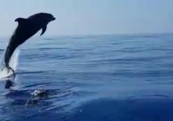 Cucciolo di delfino impigliato in una rete, pescatori lo liberano: la madre ringrazia con spettacolari salti Le immagini di un gruppo di pescatori che, a Procida, si avvicinano al delfino su un gommone, mentre la madre capisce e ringrazia con incredibili salti - Corriere Tv