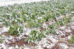Danni per le gelate del 2008, sbloccati i fondi per 268 aziende siciliane