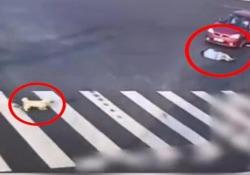 Il cagnolino che «insegna» all'uomo come si attraversa la strada Il video virale dalla Cina - CorriereTV