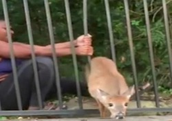 L'atleta salva (per due volte) il cerbiatto incastrato nella transenna La ragazza stava correndo in un parco quando ha visto l'animale in difficoltà - CorriereTV