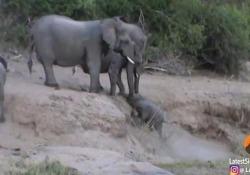 L'elefantino non riesce a risalire l'argine: in soccorso arrivano gli adulti Il dolcissimo video catturato nella riserva di Mala Mala in Sudafrica - CorriereTV