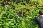 Piantagione di marijuana scoperta a Lamezia, erano alte fino a 3 metri