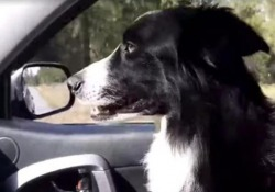 Ritrovato dopo 57 giorni: il momento (adorabile) in cui il cane «Katie» torna a casa La proprietaria ha lasciato il suo lavoro per ritrovare il Border Collie di 7 anni, fuggito da una camera d'albergo nel Montana - CorriereTV