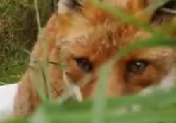 Scozia, la volpe ruba lo smartphone e scappa col bottino Un uomo voleva riprendere gli animali nel bosco ma l'animale lo ha sorpreso portandosi via il suo telefonino - Corriere Tv