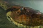 Senza paura: il sub nuota a pochi centimetri dalla anaconda di 7 metri