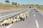 Gioia Tauro, pecore tra le auto che sfrecciano: lasciano il pascolo per... la A2