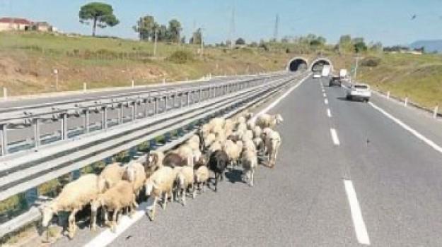 a2, pecore Gioia Tauro, pecore in autostrada, Reggio, Calabria, Cronaca