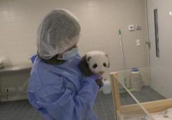 Berlino, nuovo letto per i cuccioli di panda allo zoo Le immagini dei piccoli gemelli che si preparano al nuovo giaciglio di circa due metri e mezzo, studiato appositamente per loro - Ansa