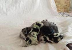 Colorado: cagnolina partorisce un cucciolo «verde» Il cucciolo nato negli Usa ha un aspetto davvero singolare. Ma c'è una spiegazione - CorriereTV