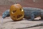 Draghi di Komodo e lontre giganti: Halloween da paura (ma non per loro)