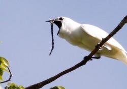 Ecco l'uccello più rumoroso del mondo Il volume del suo canto supera addirittura quello di un martello pneumatico: un nuovo record nel mondo dei volatili - CorriereTV