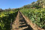 Investimenti per il vino in Calabria, assegnati e spesi 4 milioni
