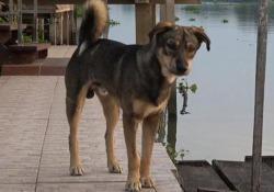 Il cane caduto dalla barca aspetta da giorni il suo proprietario sul molo «Luck» era caduto da una barca sul fiume Chao Phraya, in Thailandia - CorriereTV