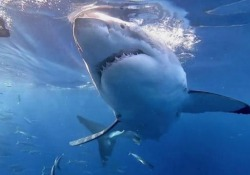 Il grande squalo bianco scuote la gabbia con i sub Un'esperienza da brividi. Voi ci entrereste? - CorriereTV