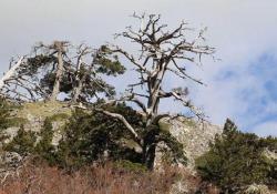 Italus, l'albero più vecchio d'Europa Il racconto della sua scoperta da parte dei funzionari del parco Nazionale del Pollino - Ansa