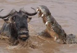 Lo gnu attaccato dal coccodrillo Ogni anno branchi di gnu migrano dalla Tanzania al Kenya, attraversando spesso pericolose acque piene di coccodrilli - CorriereTV