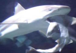 Lo squalo pinna nera del reef divora uno squalo testa di toro Il video girato dai visitatori in uno zoo in Belgio - CorriereTV