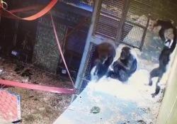 Mamma scimpanzé gioca con il suo cucciolo Il video girato in un Safari Park in Australia - Corriere Tv