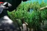 Piantagione di marijuana scoperta a San Pietro di Caridà: sequestrate 300 piante - Video