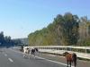 Mucche invadono la carreggiata, tragedia sfiorata sulla Salerno-Reggio Calabria