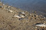 Continua la morìa di pesci, è allarme al lago Angitola