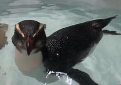 Pinguino nuota dalla Nuova Zelanda all'Australia, salvato dai veterinari L'esemplare è stato rimesso in libertà dopo le cure - Ansa