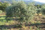Olio in Sicilia, qualità eccellente e 35% di raccolto in più: a Messina annata negativa