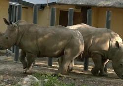 Roma, il Bioparco accoglie due rinoceronti bianchi Per Thomas e Kibo è stata allestita un'area di oltre duemila metri quadrati dove è stata ricostruita un'ambientazione di savana africana - Ansa