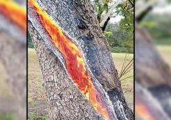 Texas: l'albero «infernale» che brucia dall'interno L'insolito video di un albero divorato dal fuoco dopo essere stato colpito da un fulmine - CorriereTV
