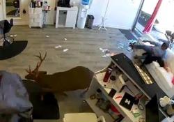 Un cervo entra nel salone di bellezza e semina il panico È entrato dalla finestra ed è fuggito dalla porta: il video dallo stato di New York, Usa - CorriereTV