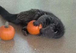 Usa, è già Halloween per gli animali dello zoo di Brookfield Dall'Illinois le immagini degli animali alle prese con le tradizionali zucche arancioni - Ansa