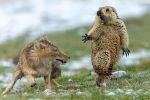Marmotta che urla e la volpe: lo scatto eletto foto dell'anno
