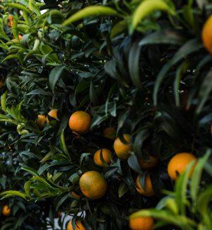 """Allarme clementine, l'""""oro arancione"""" scarseggia nelle miniere della Piana di Cosenza"""