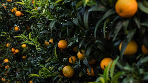 clementine, coldiretti, Calabria, Economia