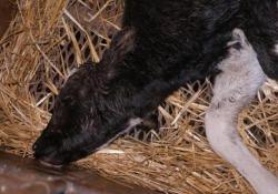 Allevamento horror nel Cremonese: le mucche da latte lasciate morire Le immagini fornite da Lav. Dopo la denuncia dell'associazione è scattato il blitz dei carabinieri - Corriere Tv