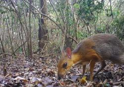 Avvistato un tragulo dal dorso argentato, il «cervo-topo»: è la prima volta dopo 30 anni L'animale è stato fotografato in un bosco del Vietnam grazie ad alcune fototrappole - Corriere TV