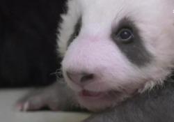 Berlino, due cuccioli di panda muovono i primi passi Sono nati nello Zoo della capitale tedesca il 31 agosto scorso e pesano circa quattro chili - Ansa