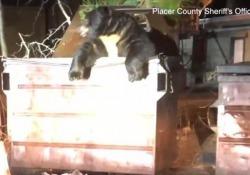 California, orso intrappolato in un cassonetto: liberato dagli agenti L'esemplare soprannominato «T-shirt» alla fine è riuscito a uscire solo dopo l'apertura del coperchio - Ansa
