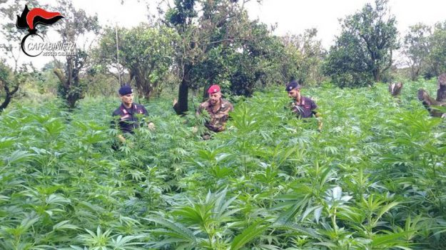 droga, locride, marijuana, Reggio, Calabria, Cronaca