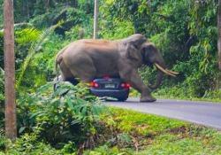 L'elefante si sdraia sull'auto dei turisti (terrorizzati) La scena catturata nel Parco Nazionale Khao Yai, in Thailandia - CorriereTV