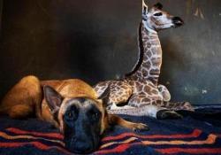 La coppia che non t'aspetti: il cane e la baby giraffa sono i migliori amici L'amicizia speciale è nata dal dolore di un abbandono: i due ora sono indivisibili - CorriereTV