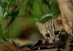 Le dolcissime immagini del gatto più piccolo del mondo Un team della BBC ha ripreso nello Sri Lanka un esemplare di «gatto rugginoso» - CorriereTV