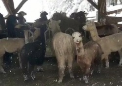 Maltempo a Bolzano, i lama ripresi sotto l'intensa nevicata Gli esemplari, originari del Sud America, sono allevati al maso Kaser a Soprabolzano - Ansa