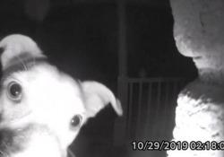«Mi aprite?», il cane lasciato fuori casa suona il campanello «Chika» non ha avuto altra scelta che suonare il campanello, alle 2 di notte - CorriereTV
