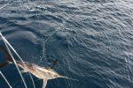 Piccoli pescespada pescati illegalmente a Reggio, nove tornano in libertà - Video