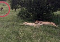 Questo cinghiale sveglia i leoni (che rimangono a bocca asciutta) Il video registrato in un parco safari in Sudafrica - CorriereTV