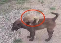 Un cane salva una scimmietta e la porta alla polizia Il video arriva dall'India. Ed è dolcissimo - CorriereTV
